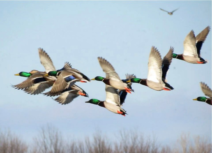 mallards on the move